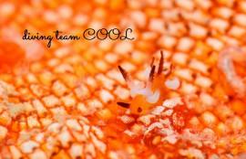 沖縄ウミウシダイビング ツガルウミウシ属の仲間