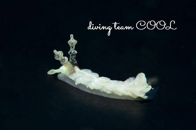 沖縄ダイビング シロミノウミウシ