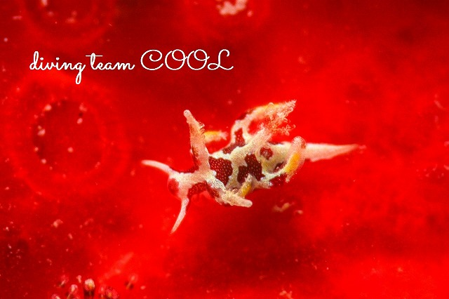 沖縄ダイビング カゴメウミウシ