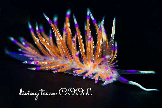 沖縄ダイビング ニチロミノウミウシ
