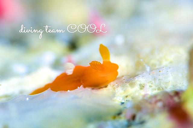 沖縄ダイビング コアカリュウグウウミウシ