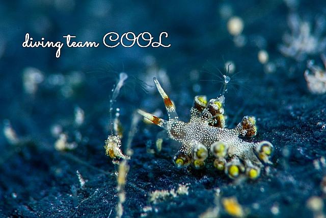 沖縄ダイビング ホリミノウミウシ属の仲間
