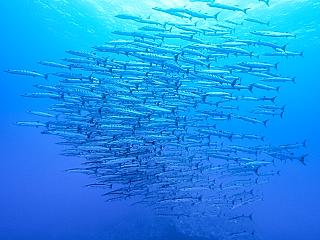 沖縄ダイビング バラクーダの群れ