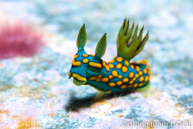 沖縄ダイビング サガミリュウグウウミウシ