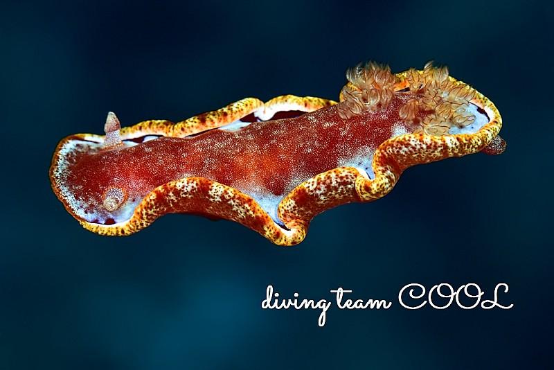 沖縄ダイビング ミカドウミウシ