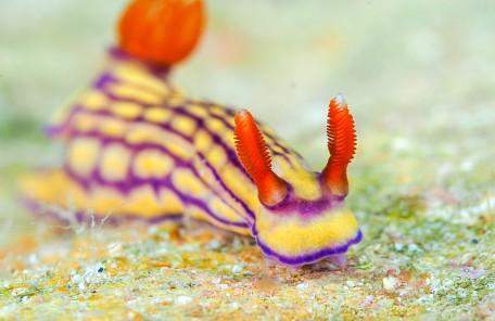 沖縄ダイビング クチナシイロウミウシ