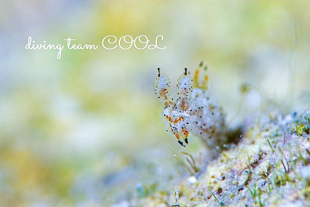 沖縄ダイビングウミウシ フジタウミウシ属の一種 9