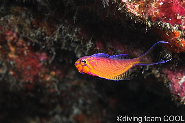 沖縄ダイビング ハナゴンベの幼魚