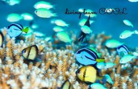 ケラマダイビング ナンヨウハギの幼魚