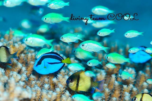 ケラマ諸島ダイビング ナンヨウハギの幼魚