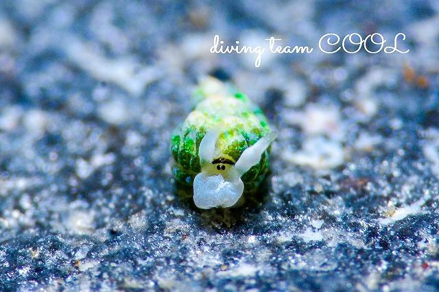 沖縄ウミウシダイビング ネオンモウミウシ