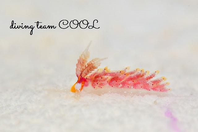 沖縄ウミウシダイビング ウツセミミノウミウシ