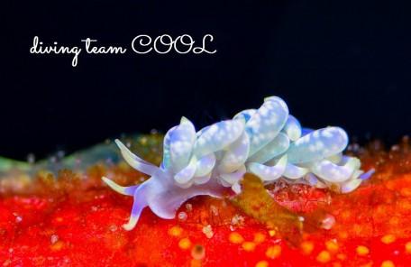 沖縄ウミウシダイビング キッカミノウミウシ