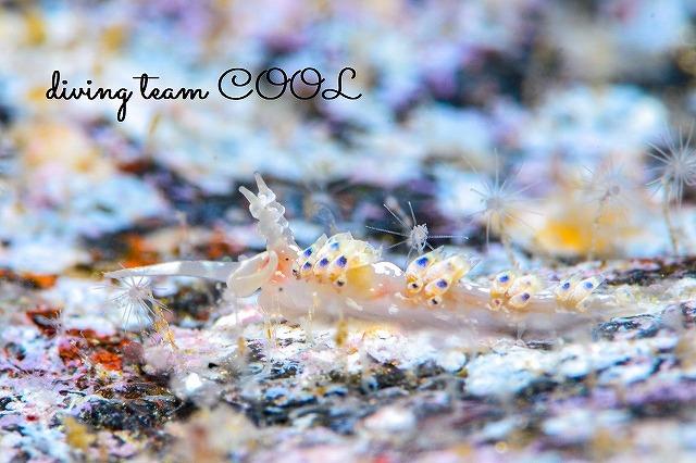 沖縄本島ウミウシダイビング リンカミノウミウシ