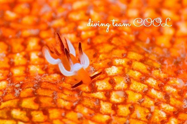 沖縄本島ウミウシダイビング ツガルウミウシ属の仲間