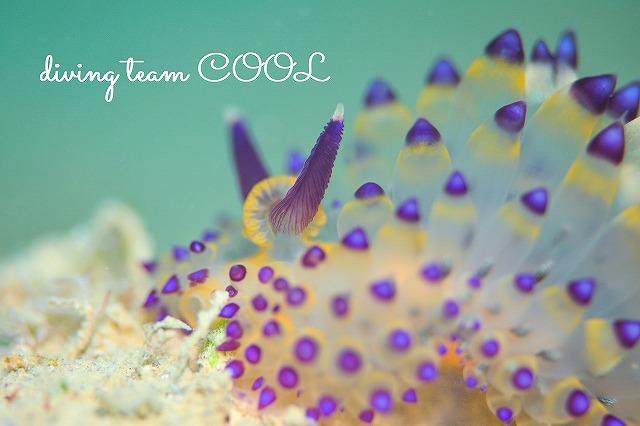 沖縄本島ウミウシダイブ サーシャコヤナギウミウシ