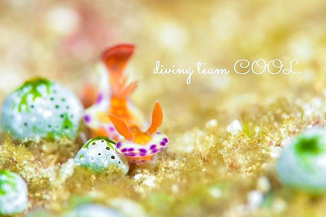 沖縄ダイビング ニシキウミウシ