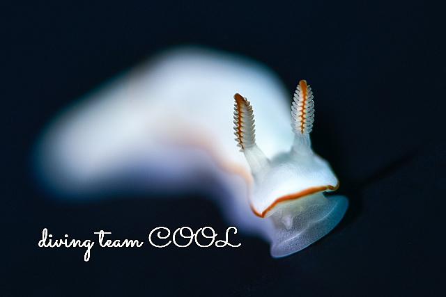 沖縄ダイビング シノビイロウミウシ