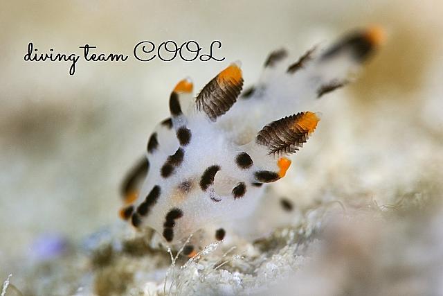 沖縄ダイビング ツノザヤウミウシ
