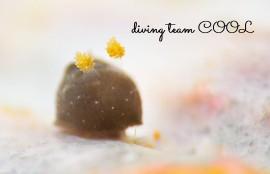 沖縄ダイビングウミウシ カンムリハラックサウミウシ