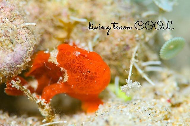沖縄ゴリラチョップ カエルアンコウの幼魚