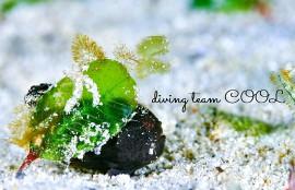 沖縄ダイビング カエルアンコウの幼魚