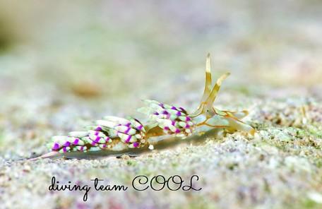 沖縄ダイビング トウリンミノウミウシ