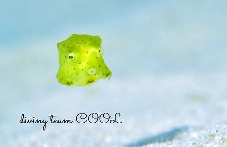 沖縄 コンゴウフグの幼魚