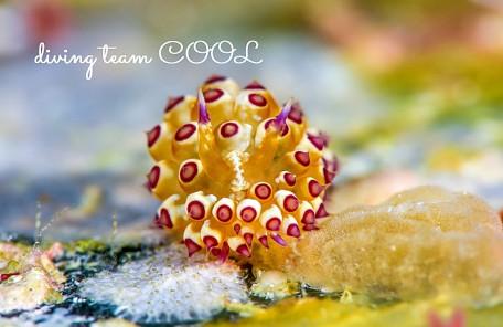 沖縄ダイビング コヤナギウミウシ属の仲間