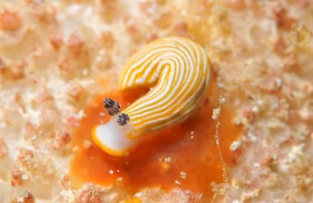 沖縄ダイビング キシマオトメウミウシ