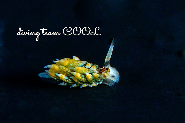 沖縄ダイビング テングモウミウシ