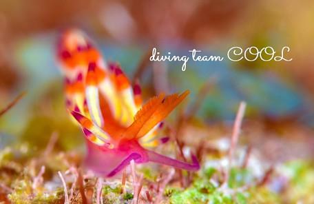 沖縄ダイビング ツマベニミノウミウシ