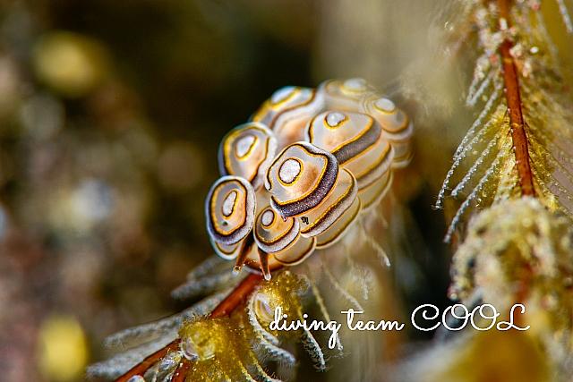 沖縄ダイビング ドーナツマツカサウミウシ