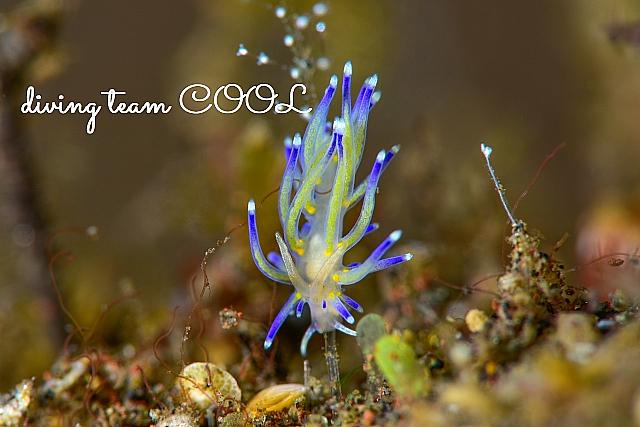 沖縄ダイビング キレンボミノウミウシ