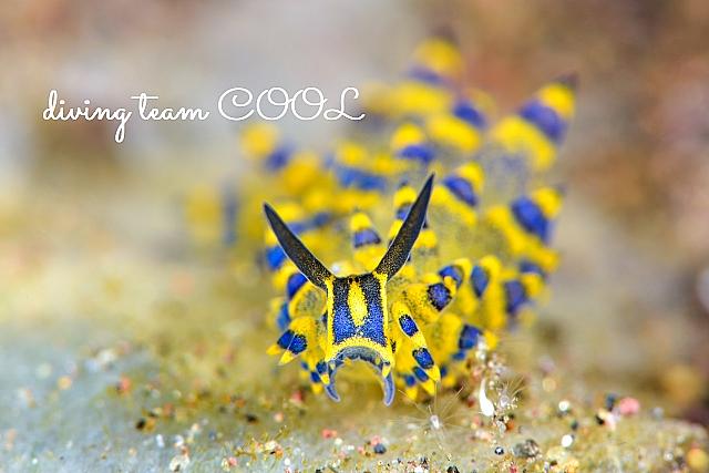 沖縄ダイビング ミナミアオモウミウシ