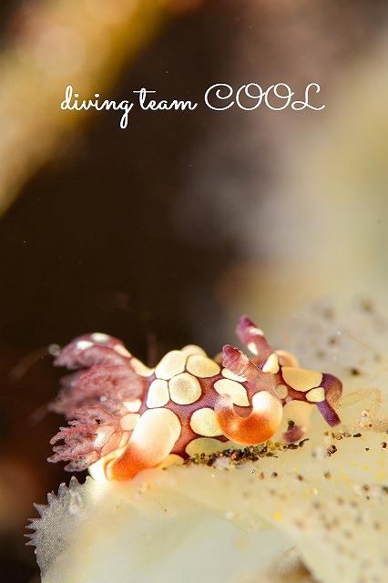 トランバン シラタマツガルウミウシ