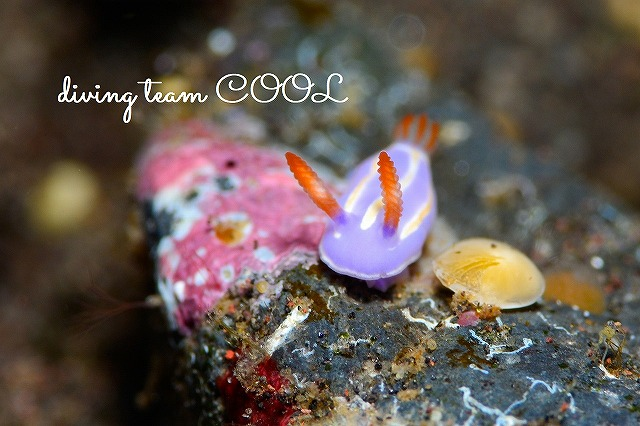 トランバン キイッポンウミウシ