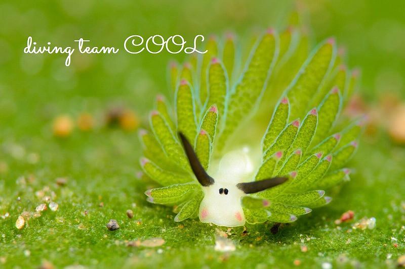 トランバン ホホベニモウミウシ