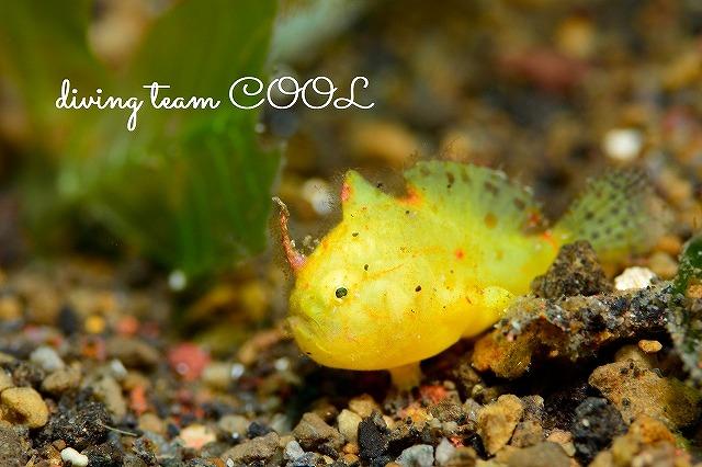 トランバン カエルアンコウ属の一種