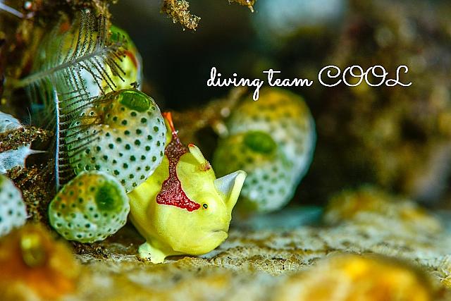 沖縄ダイビング クマドリカエルアンコウの幼魚