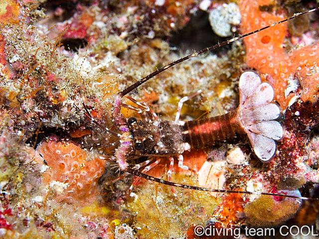 沖縄ダイビング イセエビの幼体