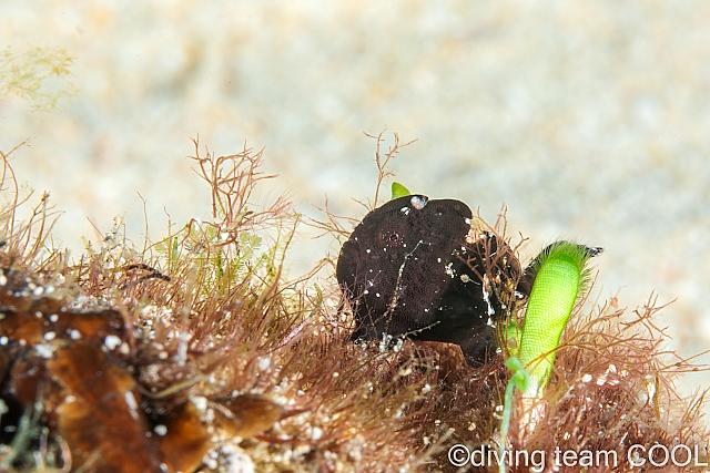 沖縄ダイビング カエルアンコウの幼魚(黒)