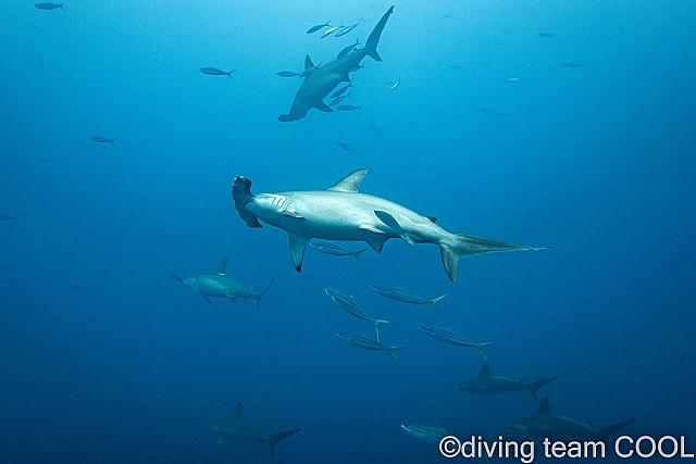 沖縄ダイビング ハンマーヘッドシャーク