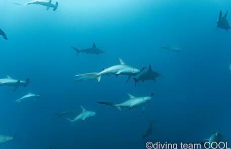 沖縄ダイビングチームクール ハンマーヘッドシャーク