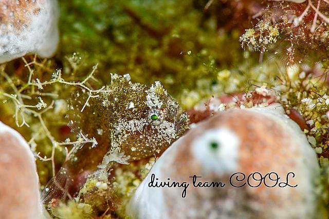 沖縄ダイビング ハナオコゼの幼魚