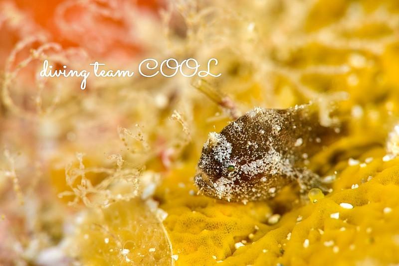 沖縄ダイビングハナオコゼの幼魚