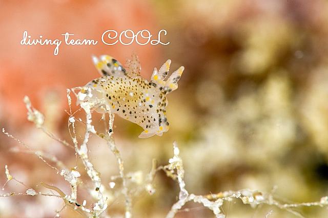 沖縄ダイビング ガヒミズタマウミウシ