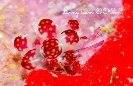 沖縄ウミウシダイビング カノコウロコウミウシ
