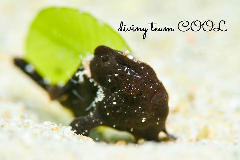 沖縄本島ビーチダイブ オオモンカエルアンコウ幼魚