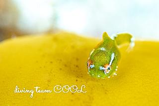 沖縄クール ダンゴウオ